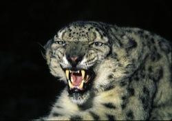 scaledsnow-leopard