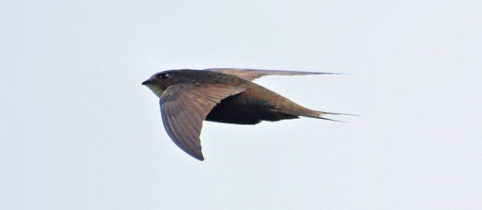 Apus Apus swift bird