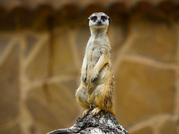 Meerkat_At_the_zoo_Novosibirsk_Siberia