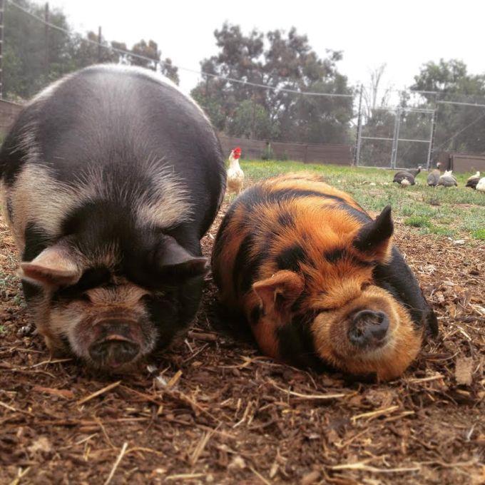 Picture caption: Got Iot? Not Cujo nor Dojo - just two happy pigs (Picture Credit - Anastasia Van Wingerden)