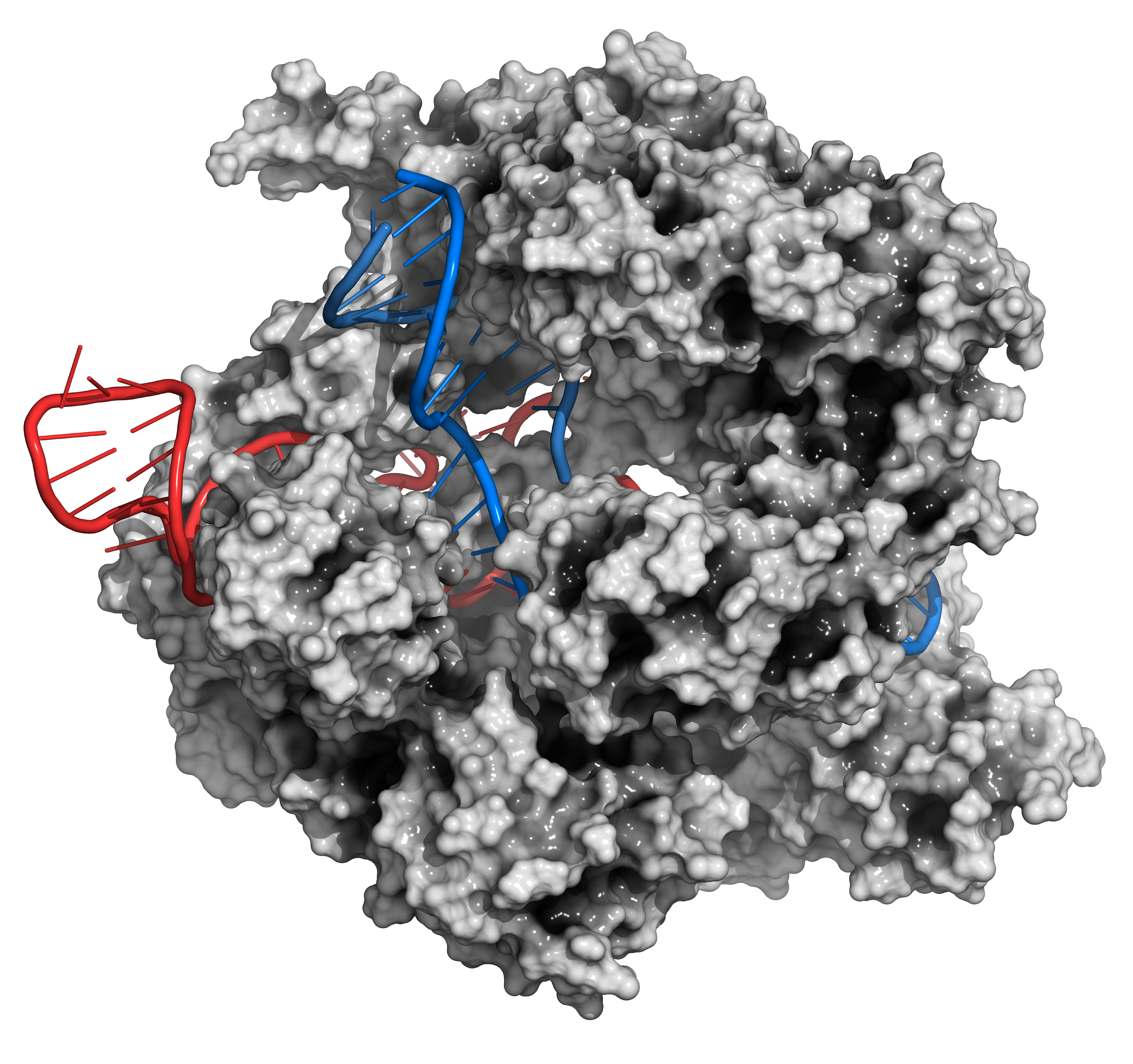 CRISPR-CAS9 gene editing complex from Streptococcus pyogenes. The Cas9 nuclease protein uses a guide RNA sequence to cut DNA at a complementary site. Cas9 protein: white surface model. DNA fragments: blue ladder cartoon. RNA: red ladder cartoon.