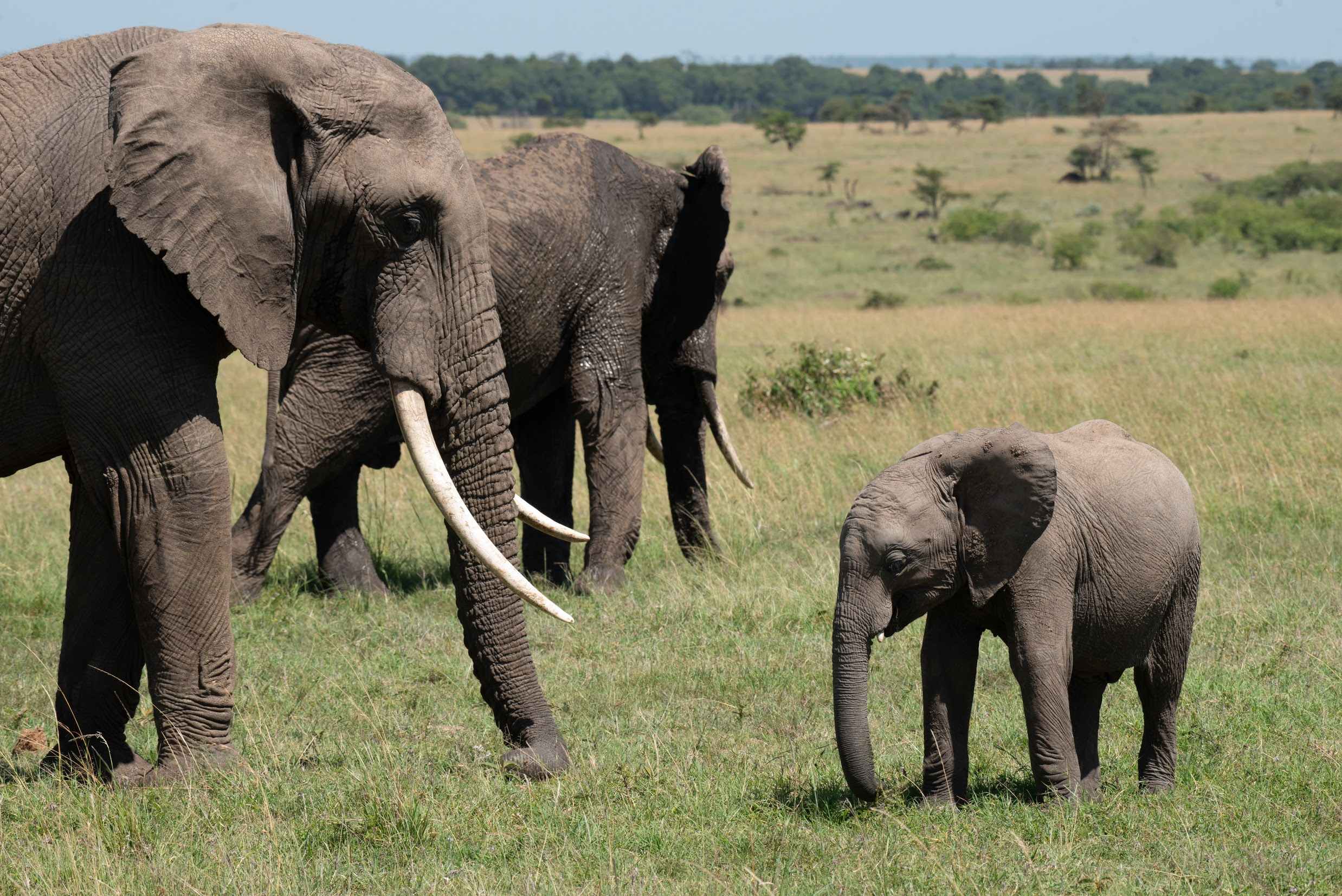 A baby elephant and two adults on the plains