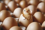 Chick hatching from egg on egg tray